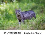 beautiful grey cat hunting in... | Shutterstock . vector #1132627670