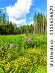 summer forest meadow flowers... | Shutterstock . vector #1132656620