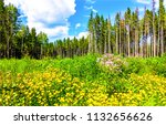 pine forest meadow flowers... | Shutterstock . vector #1132656626