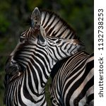 Love Of Zebra Mother And Child