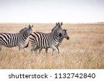 zebras migration   ... | Shutterstock . vector #1132742840