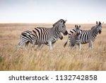 zebras migration   ... | Shutterstock . vector #1132742858