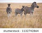 zebras migration   ... | Shutterstock . vector #1132742864