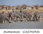 zebras migration   ... | Shutterstock . vector #1132742933