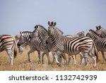 zebras migration   ... | Shutterstock . vector #1132742939
