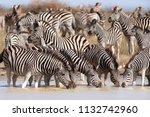zebras migration   ... | Shutterstock . vector #1132742960