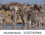 zebras migration   ... | Shutterstock . vector #1132742966