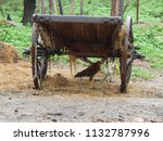 Small photo of Hen under bullock cart