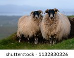 white sheep grazing on the... | Shutterstock . vector #1132830326