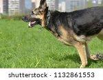 the oldest german shepherd runs ... | Shutterstock . vector #1132861553