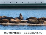 california sea lions hauled out ... | Shutterstock . vector #1132864640