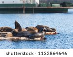 california sea lions hauled out ... | Shutterstock . vector #1132864646