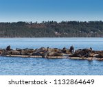 california sea lions hauled out ... | Shutterstock . vector #1132864649