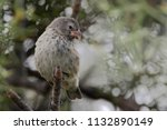 small ground finch  geospiza... | Shutterstock . vector #1132890149