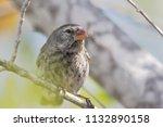 small ground finch  geospiza...   Shutterstock . vector #1132890158