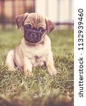 cute baby pug chihuahua mix... | Shutterstock . vector #1132939460