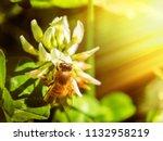 Bee On A White Clover Flower I...