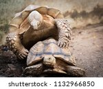 sulcata tortoises mating  close ... | Shutterstock . vector #1132966850