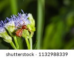 ant mimic crab spider on siam... | Shutterstock . vector #1132988339