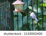 blue jay bird songbird flying... | Shutterstock . vector #1133002400