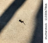 baby lizard in the sun on... | Shutterstock . vector #1133067866