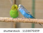 A pair of common parakeets is kissing on a branch