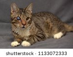 tabby cat with cataracts in the ... | Shutterstock . vector #1133072333