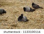 gray pigeons columba livia sit ... | Shutterstock . vector #1133100116