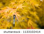 dragonfly on the yellow maple... | Shutterstock . vector #1133102414