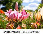 lilies in a colorful garden | Shutterstock . vector #1133105900