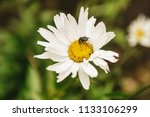 flowering of daisies. oxeye... | Shutterstock . vector #1133106299