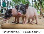 a pig hoof couple herbivorous....   Shutterstock . vector #1133155040