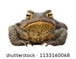 isolated brown toad front view  ... | Shutterstock . vector #1133160068