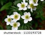 white flowers. anemone... | Shutterstock . vector #1133193728