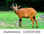 Small photo of antelope bongos in the zoo