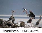 grey herons standing on the... | Shutterstock . vector #1133238794