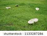 poisonous mushrooms in the yard. | Shutterstock . vector #1133287286