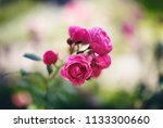 pink roses in a garden  | Shutterstock . vector #1133300660