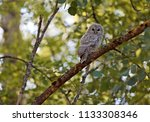 tawny owl baby sitting on a... | Shutterstock . vector #1133308346