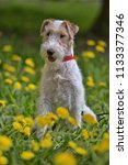 white with red airedale terrier ... | Shutterstock . vector #1133377346