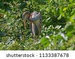 red heron looking downward... | Shutterstock . vector #1133387678