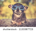 cute chihuahua in a park with... | Shutterstock . vector #1133387723