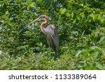 red heron that is looking... | Shutterstock . vector #1133389064
