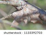 pine tree lappet dendrolimus... | Shutterstock . vector #1133392703