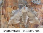 pine tree lappet dendrolimus... | Shutterstock . vector #1133392706