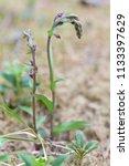 dark red helleborine  epipactis ... | Shutterstock . vector #1133397629