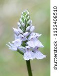 marsh orchid or spotted orchid... | Shutterstock . vector #1133408510