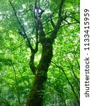 a tree climbs toward the... | Shutterstock . vector #1133415959