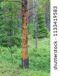dead tree in pine forest in the ... | Shutterstock . vector #1133419583