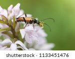 a mustachioed beetle sits on... | Shutterstock . vector #1133451476